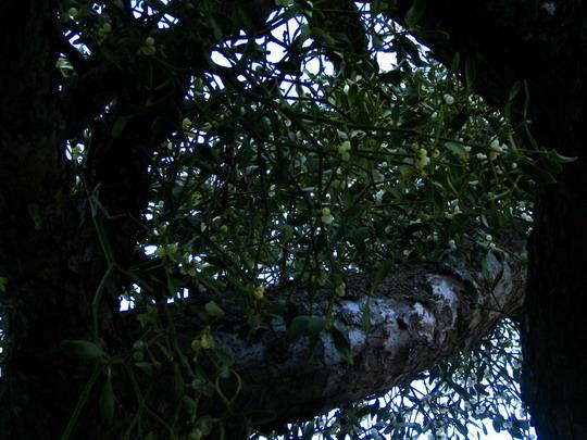 Az élõsködõ elszívja az energiáját a fának