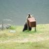Medvék a Szent Anna-tónál