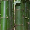 Bambuszfák