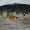 Bárányok a falon