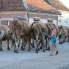 A tehenek vonulása