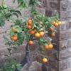 Sagrada_familia: Narancsfa a Szent család templomának tövében. A turistáktól távolabb eső ágak még gyümölcsöt is teremnek... :-)